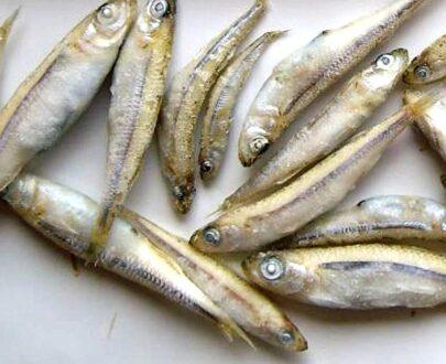 Sgombri - Sardine - Triglie - Latterini